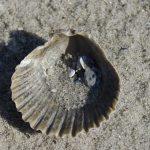 Deze afbeelding heeft een leeg alt-attribuut; de bestandsnaam is seashell-224374__340-gratis-pixabay-150x150.jpg